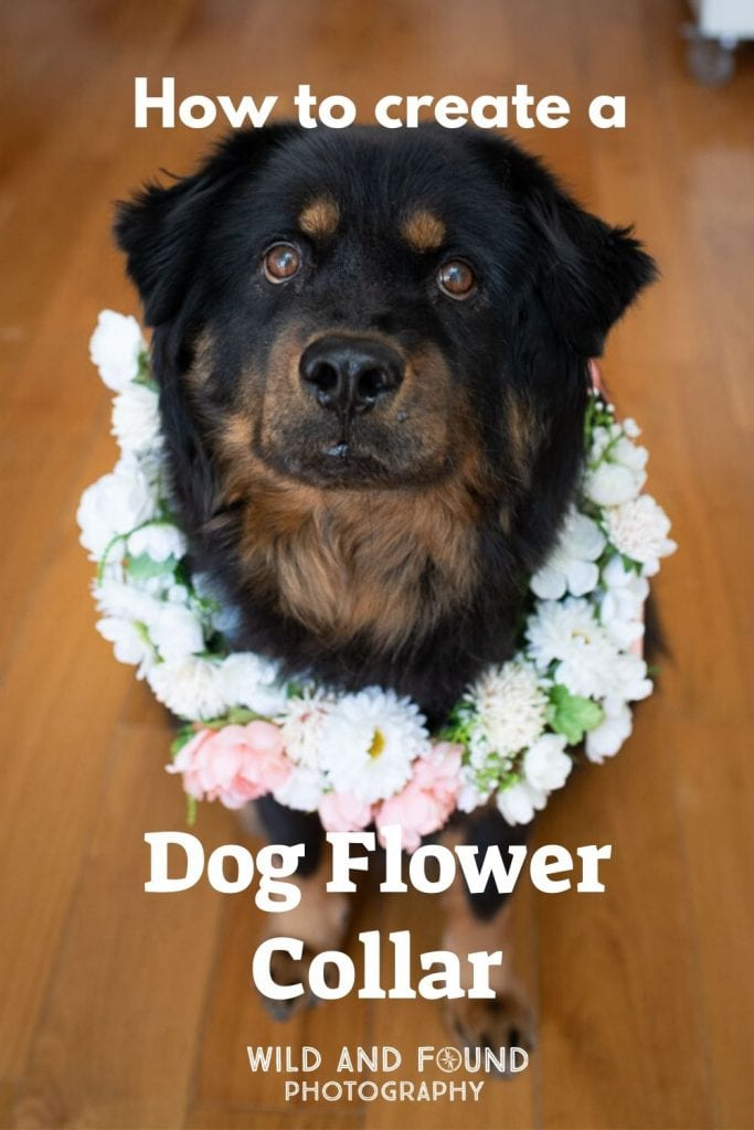 Fluffy rottweiler mix dog wearing a pink and white flower collar