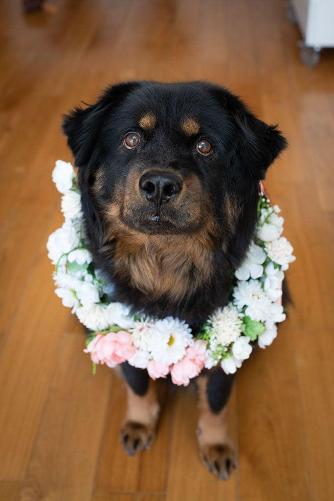 Fluffy rottweiler mix dog wearing a flower collar for wedding