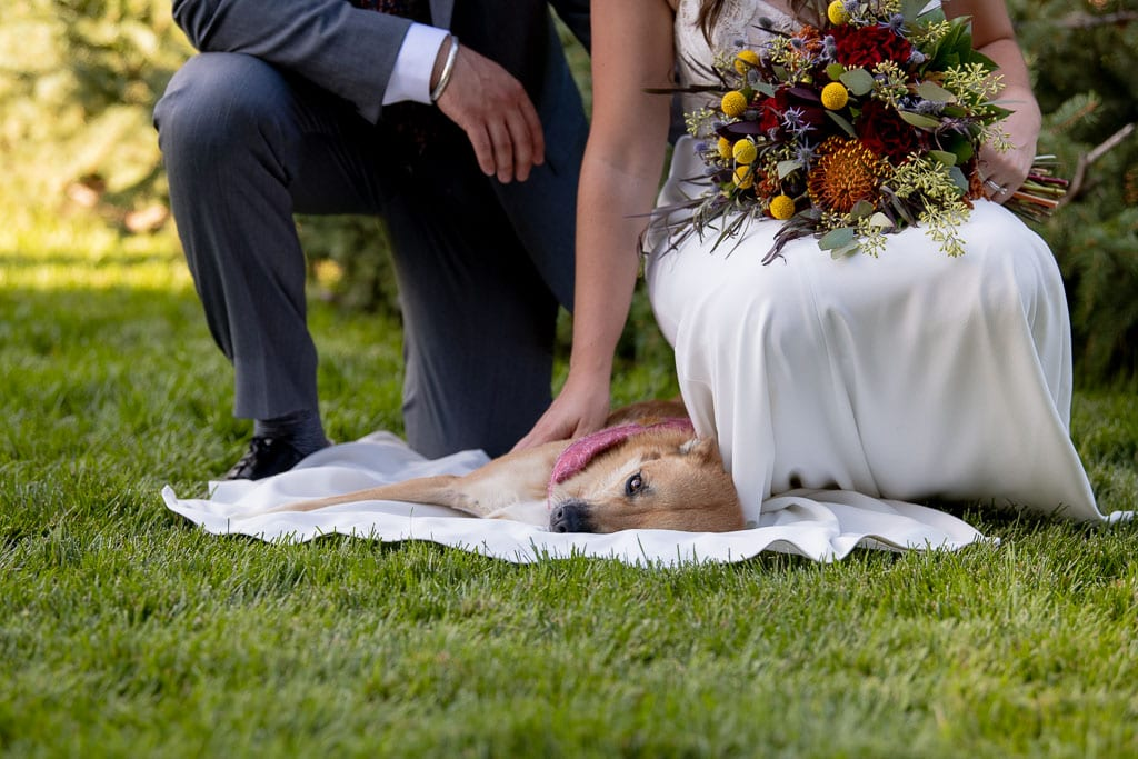 Tan dog with black snout lays on bride's wedding dress as she and groom crouch down beside it