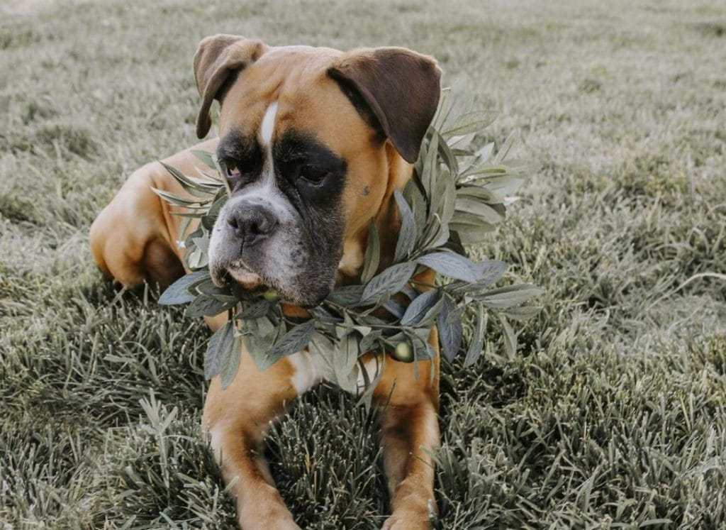 Boxer wearing a eucalyptus wreath and laying in the grass