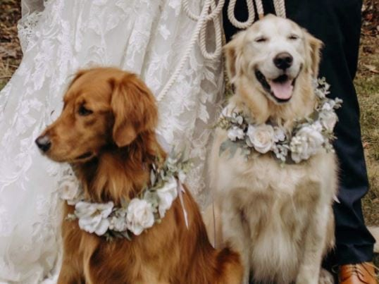 Two golden retrievers sitting in front of a bride and groom's feet wearing flower collars with white flowers
